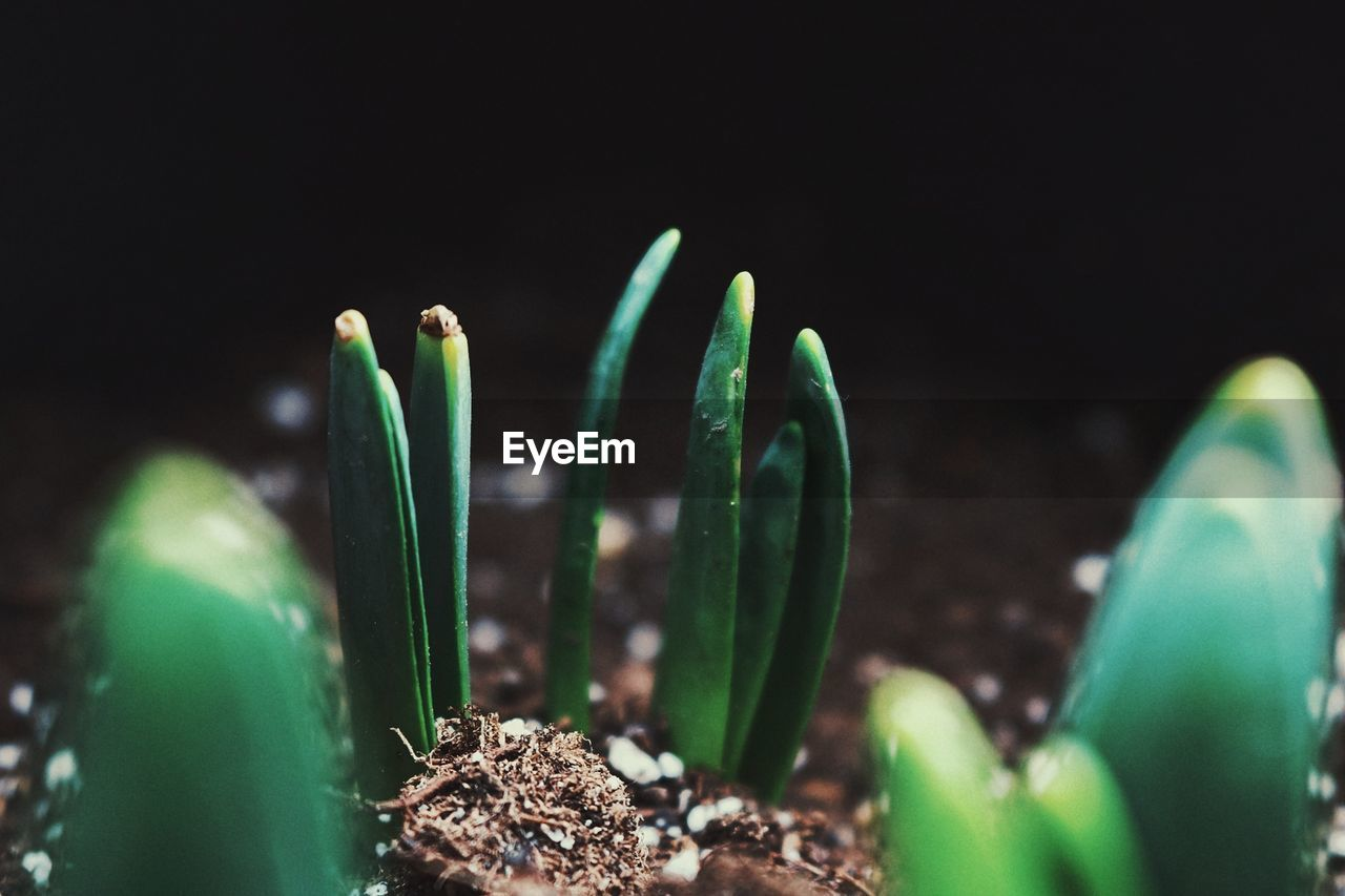 growth, selective focus, plant, green color, close-up, nature, beauty in nature, no people, freshness, leaf, plant part, beginnings, new life, succulent plant, vulnerability, focus on foreground, day, fragility, sunlight, outdoors
