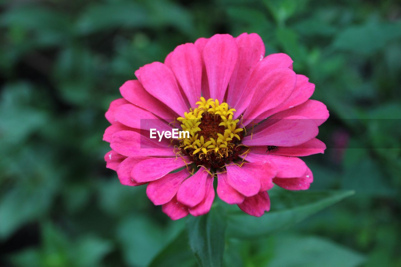 flowering plant, flower, vulnerability, fragility, petal, plant, inflorescence, flower head, beauty in nature, freshness, close-up, growth, pink color, focus on foreground, zinnia, nature, pollen, day, no people, outdoors
