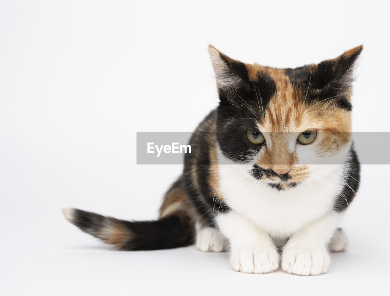 cat, pets, domestic cat, studio shot, domestic, feline, domestic animals, white background, mammal, animal, animal themes, indoors, vertebrate, one animal, copy space, portrait, no people, cut out, sitting, looking at camera, whisker