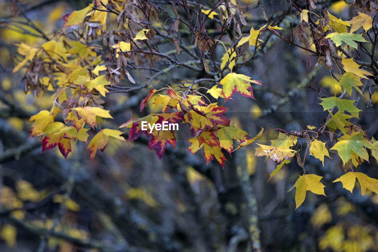 plant part, leaf, plant, growth, tree, branch, yellow, autumn, beauty in nature, change, day, nature, no people, close-up, selective focus, focus on foreground, outdoors, freshness, low angle view, leaves, maple leaf, autumn collection, natural condition