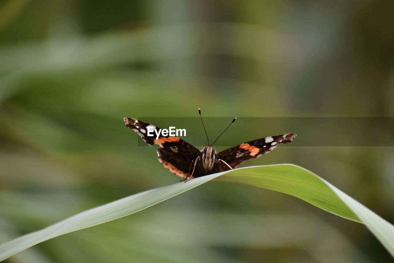 invertebrate, insect, animal themes, animal, one animal, animal wildlife, animals in the wild, animal wing, beauty in nature, plant, butterfly - insect, no people, close-up, focus on foreground, day, nature, growth, plant part, leaf, flower, outdoors, butterfly, pollination