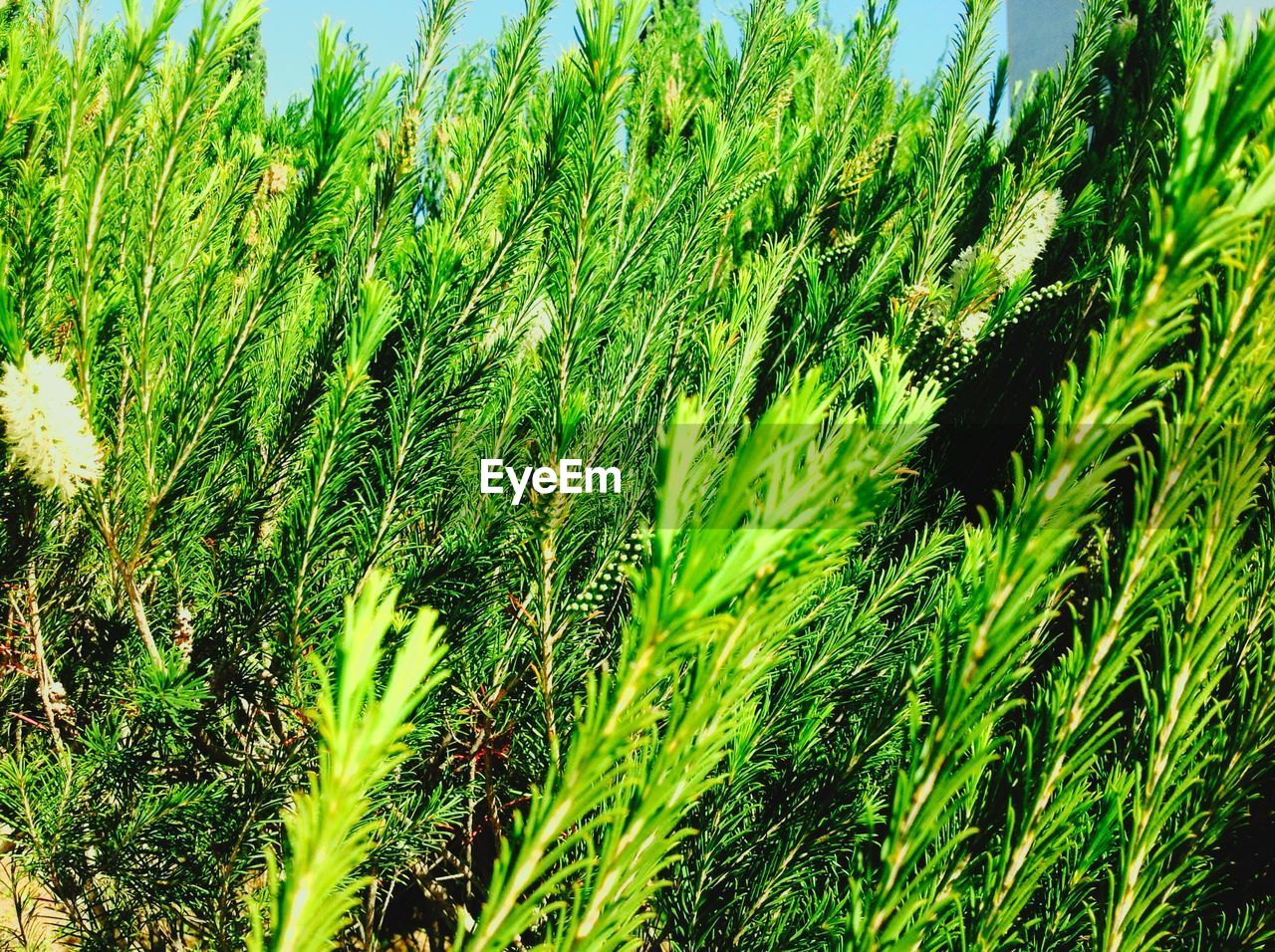 growth, green color, nature, day, beauty in nature, no people, plant, outdoors, grass, leaf, close-up, frond, freshness