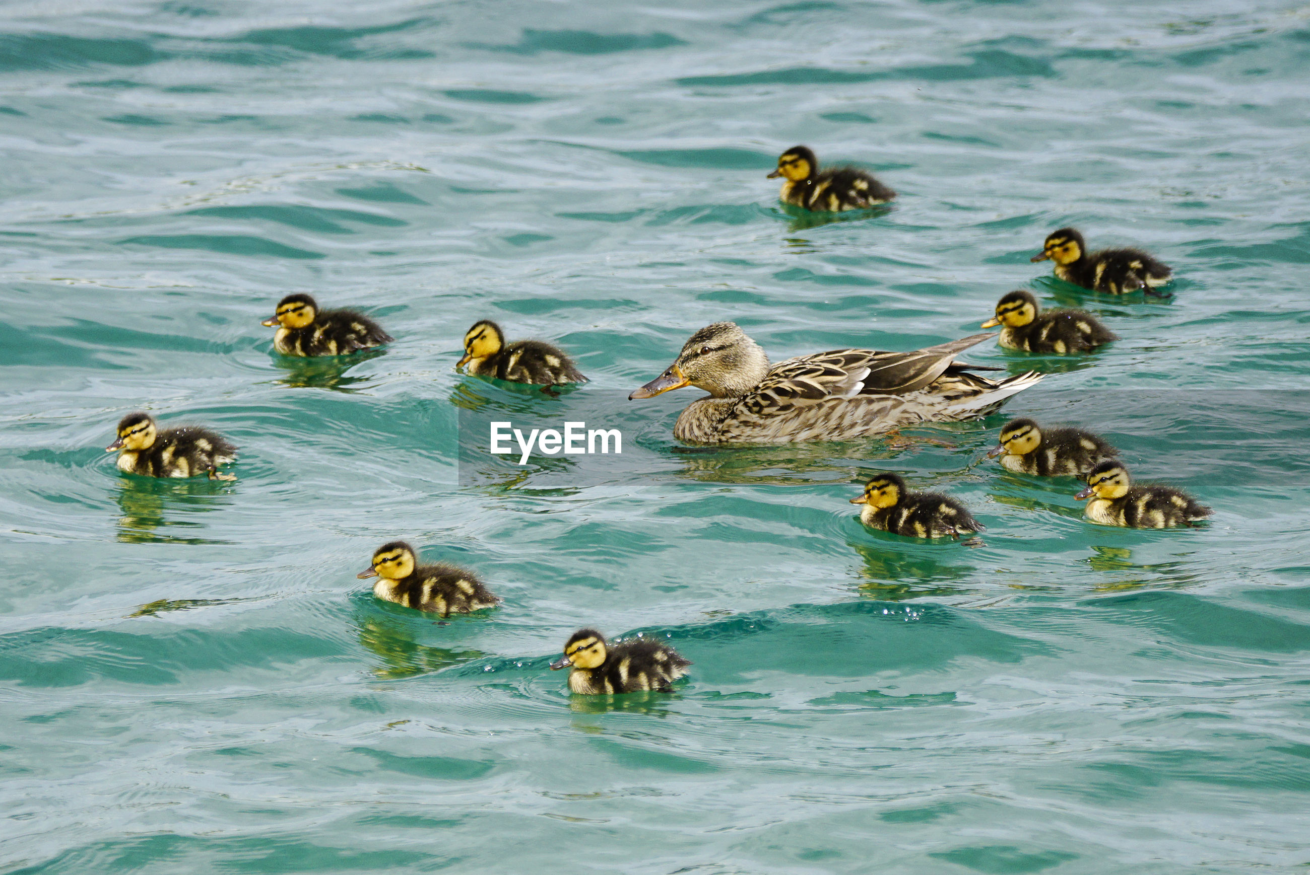 High angle view of mallard duck with ducklings swimming in river