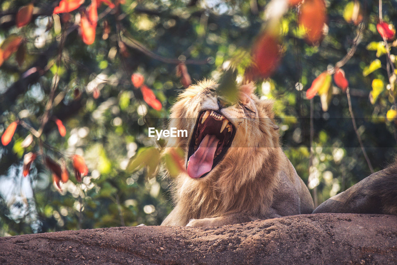 Low Angle View Of Lion Yawning In Forest