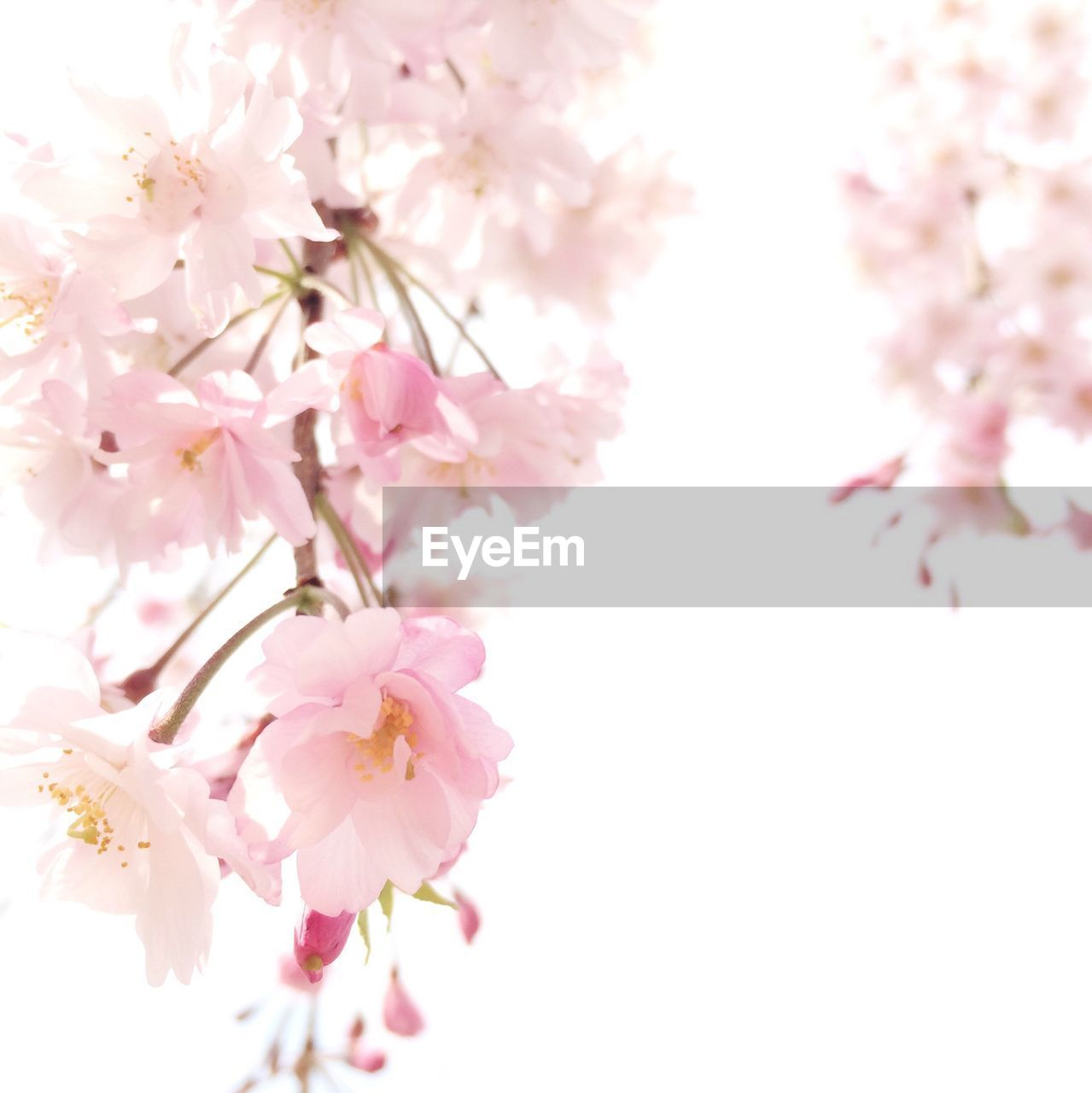 flower, pink color, blossom, cherry blossom, tree, cherry tree, growth, fragility, nature, beauty in nature, springtime, branch, freshness, no people, petal, pink, apple blossom, close-up, flower head, blooming, outdoors, day