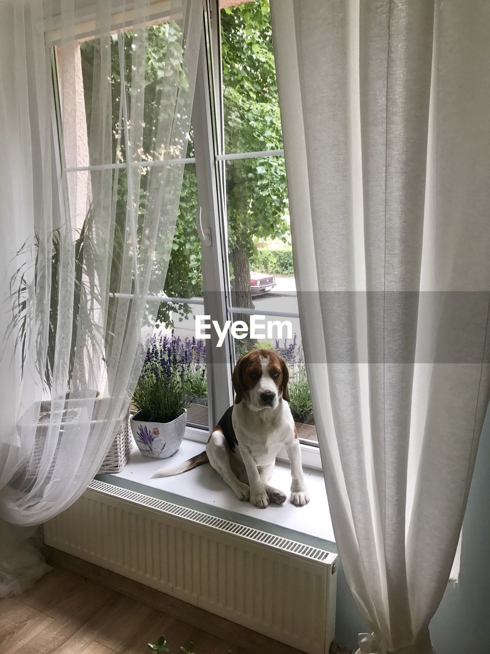 one animal, curtain, window, animal themes, domestic, animal, domestic animals, mammal, pets, indoors, day, no people, canine, glass - material, sitting, dog, vertebrate, window sill, transparent, looking
