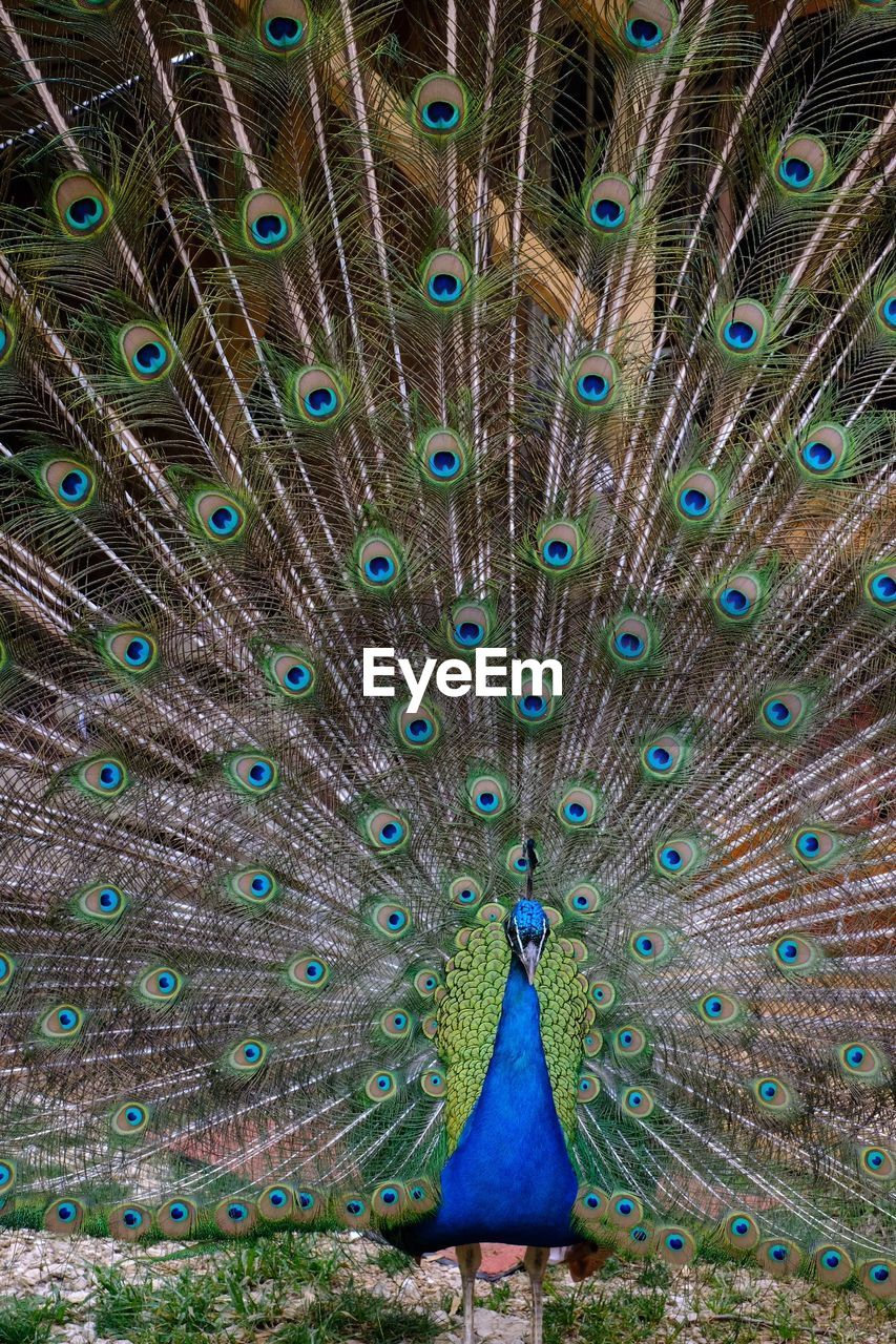 peacock, peacock feather, bird, animal wildlife, feather, animals in the wild, one animal, fanned out, vertebrate, multi colored, no people, blue, nature, beauty in nature, full frame, day, outdoors