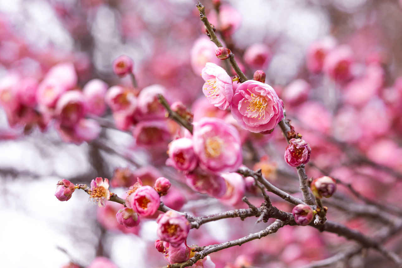 flower, flowering plant, plant, freshness, growth, pink color, beauty in nature, fragility, vulnerability, tree, branch, close-up, blossom, springtime, nature, no people, day, selective focus, petal, twig, flower head, cherry blossom, outdoors, cherry tree, plum blossom, pollen, spring