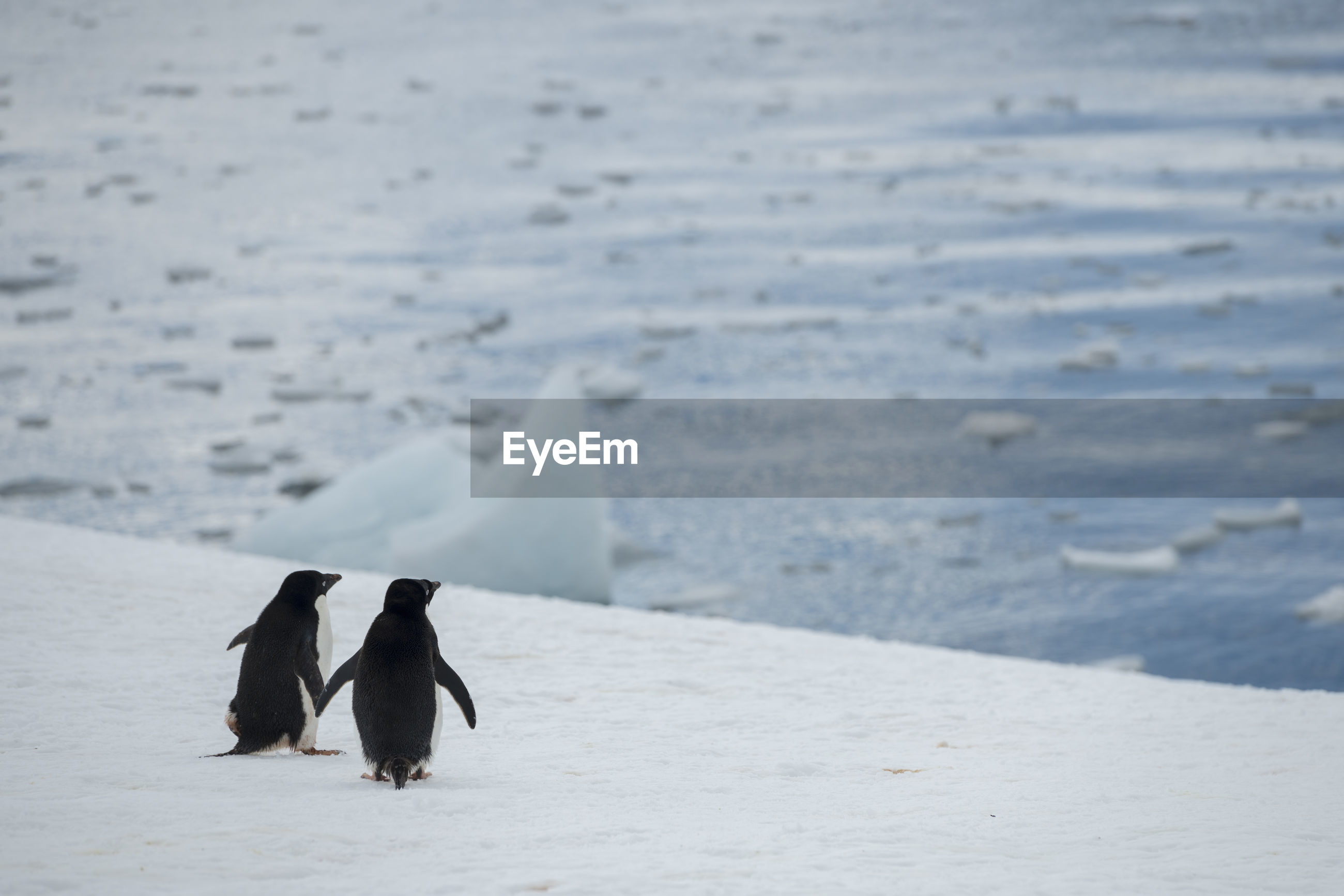 Adélie penguins in hope bay on trinity peninsula, the northernmost part of the antarctic peninsula.