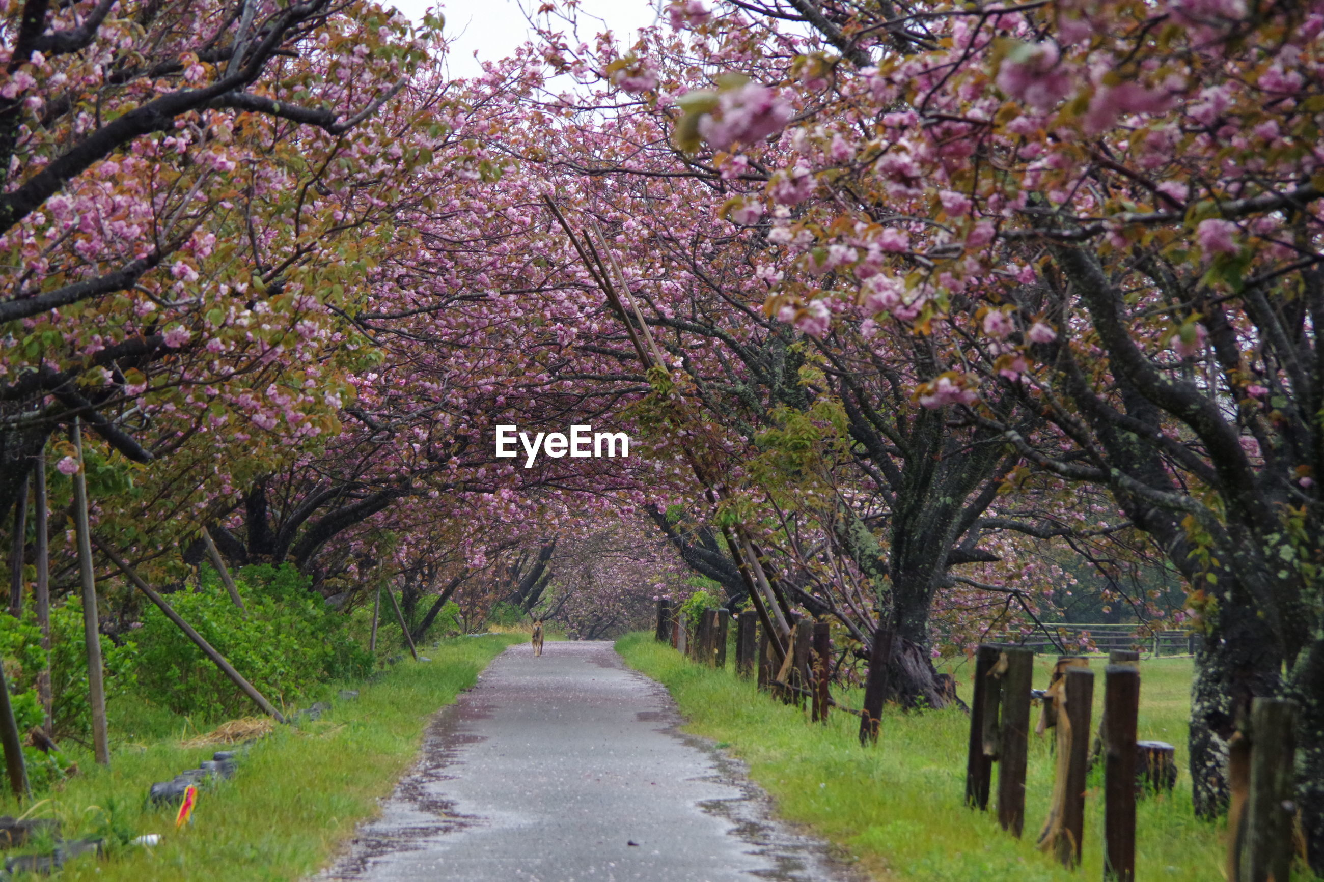 VIEW OF CHERRY BLOSSOMS IN PARK