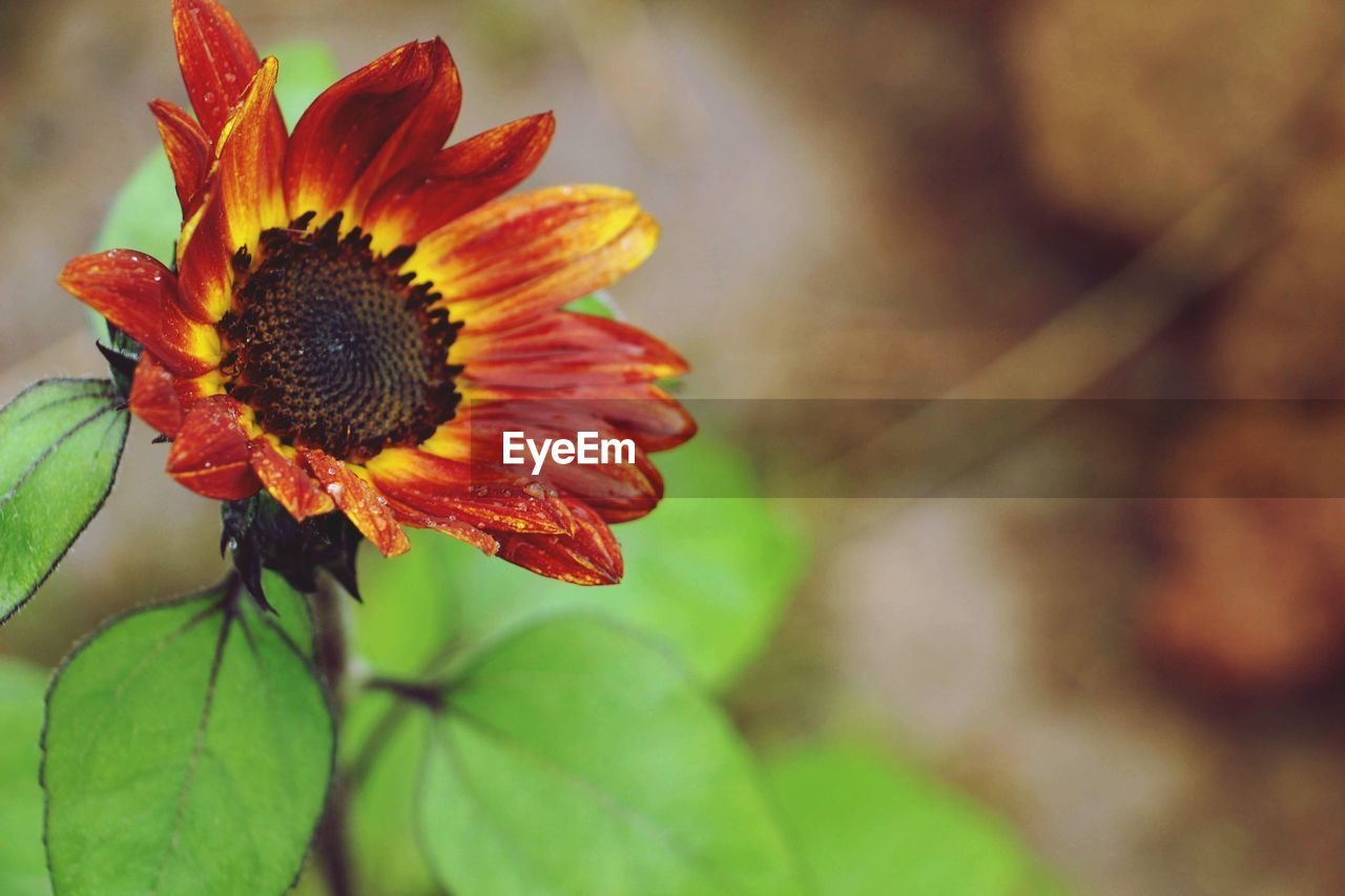 flower, fragility, petal, nature, growth, beauty in nature, flower head, freshness, plant, close-up, focus on foreground, leaf, no people, day, outdoors, blooming