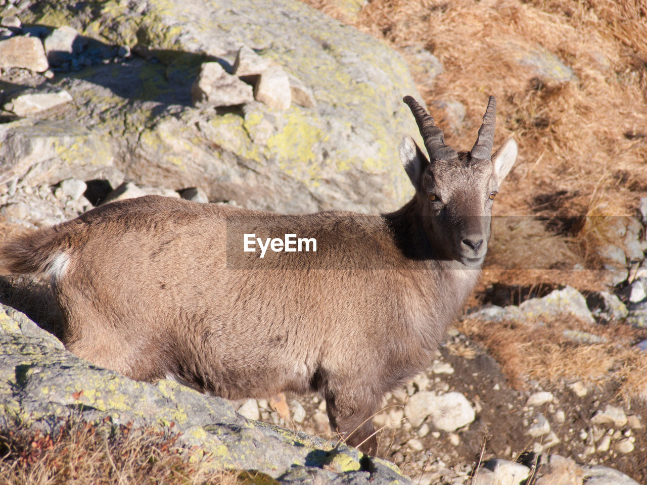 animal wildlife, mammal, animals in the wild, rock, no people, rock - object, solid, nature, one animal, day, land, vertebrate, outdoors, side view, brown, deer, autumn, herbivorous