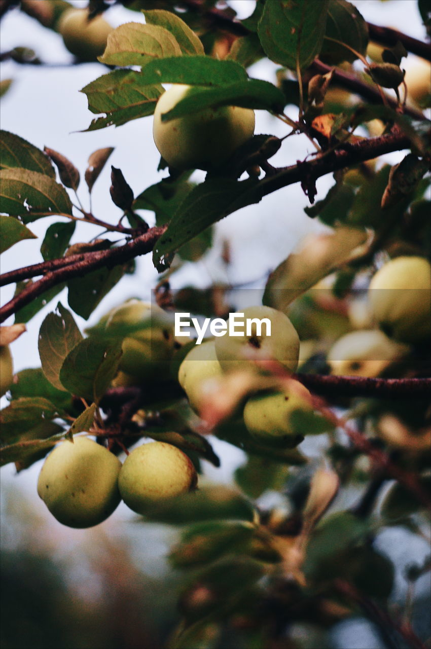 fruit, tree, plant, healthy eating, growth, food and drink, food, leaf, branch, plant part, no people, close-up, fruit tree, wellbeing, day, freshness, nature, focus on foreground, beauty in nature, low angle view, outdoors, ripe