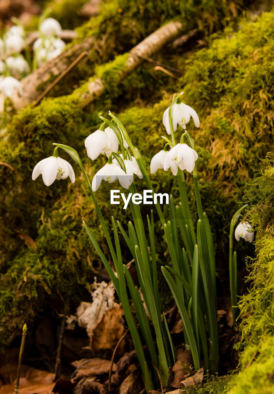 plant, growth, flower, beauty in nature, flowering plant, vulnerability, fragility, white color, freshness, nature, close-up, snowdrop, petal, green color, inflorescence, focus on foreground, land, no people, flower head, day, outdoors, springtime