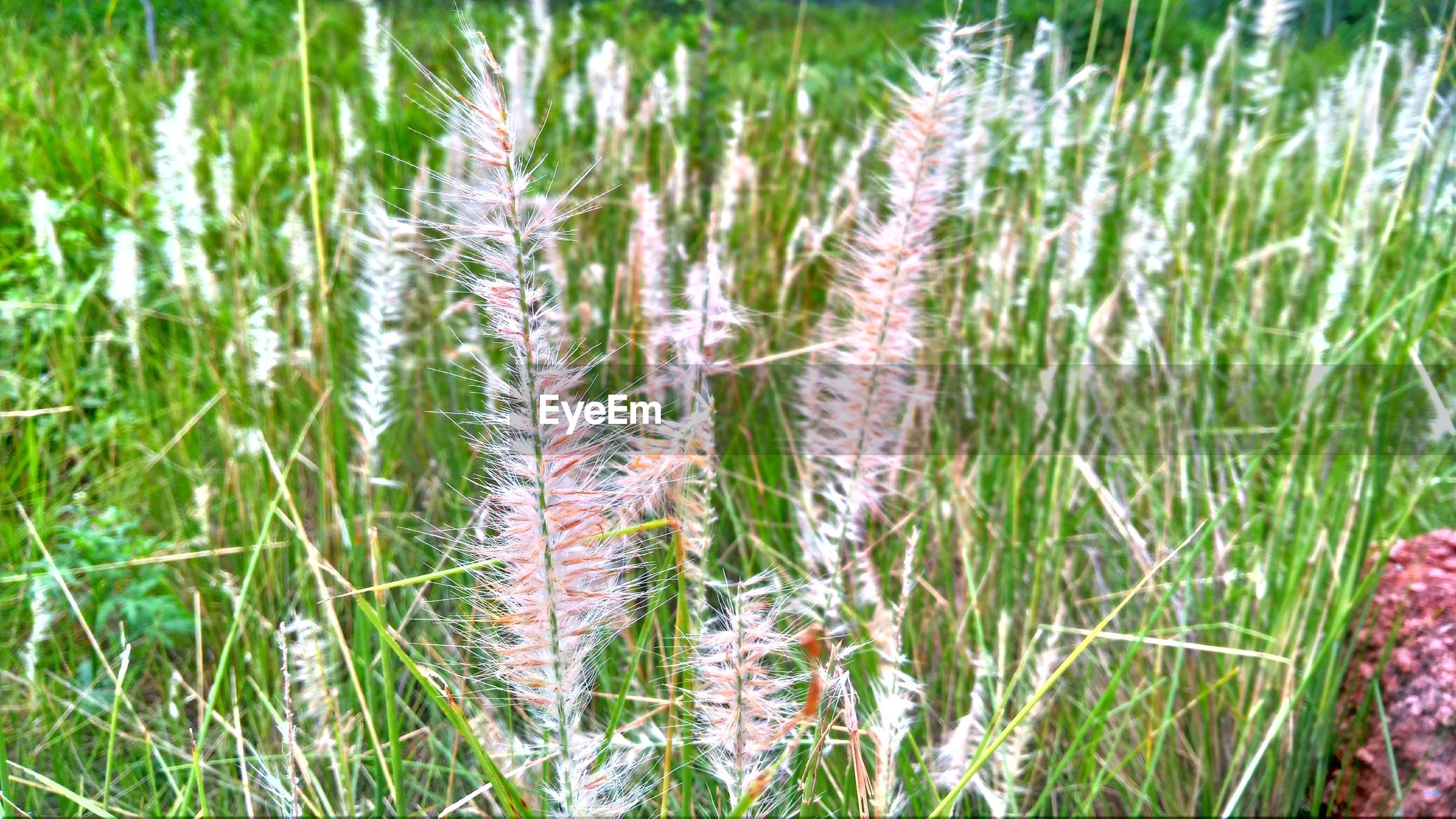plant, growth, green color, nature, grass, no people, beauty in nature, close-up, day, land, tranquility, field, outdoors, agriculture, cereal plant, focus on foreground, backgrounds, animal, rural scene, animal themes, blade of grass