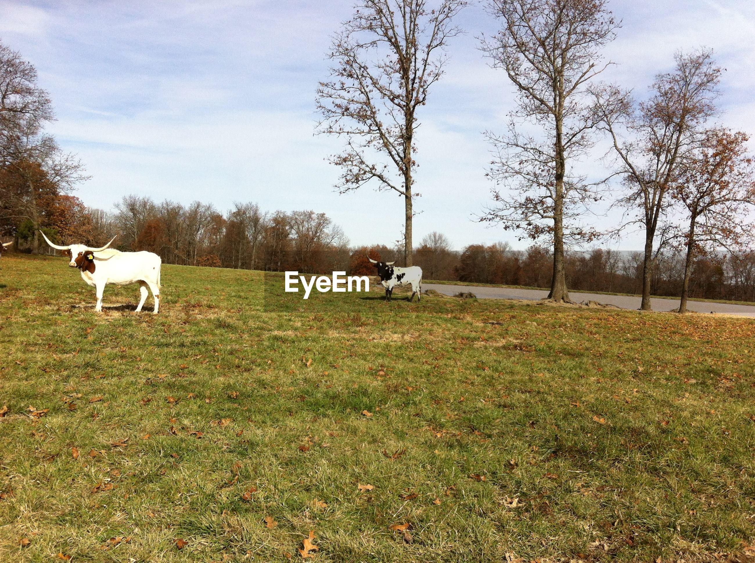 Scenic view of cows on grassy field