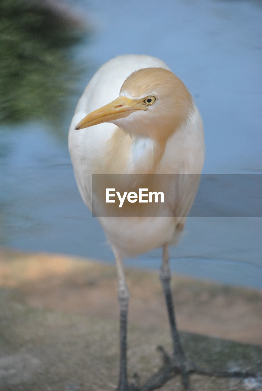 Close-Up Of Cattle Egret By Lake