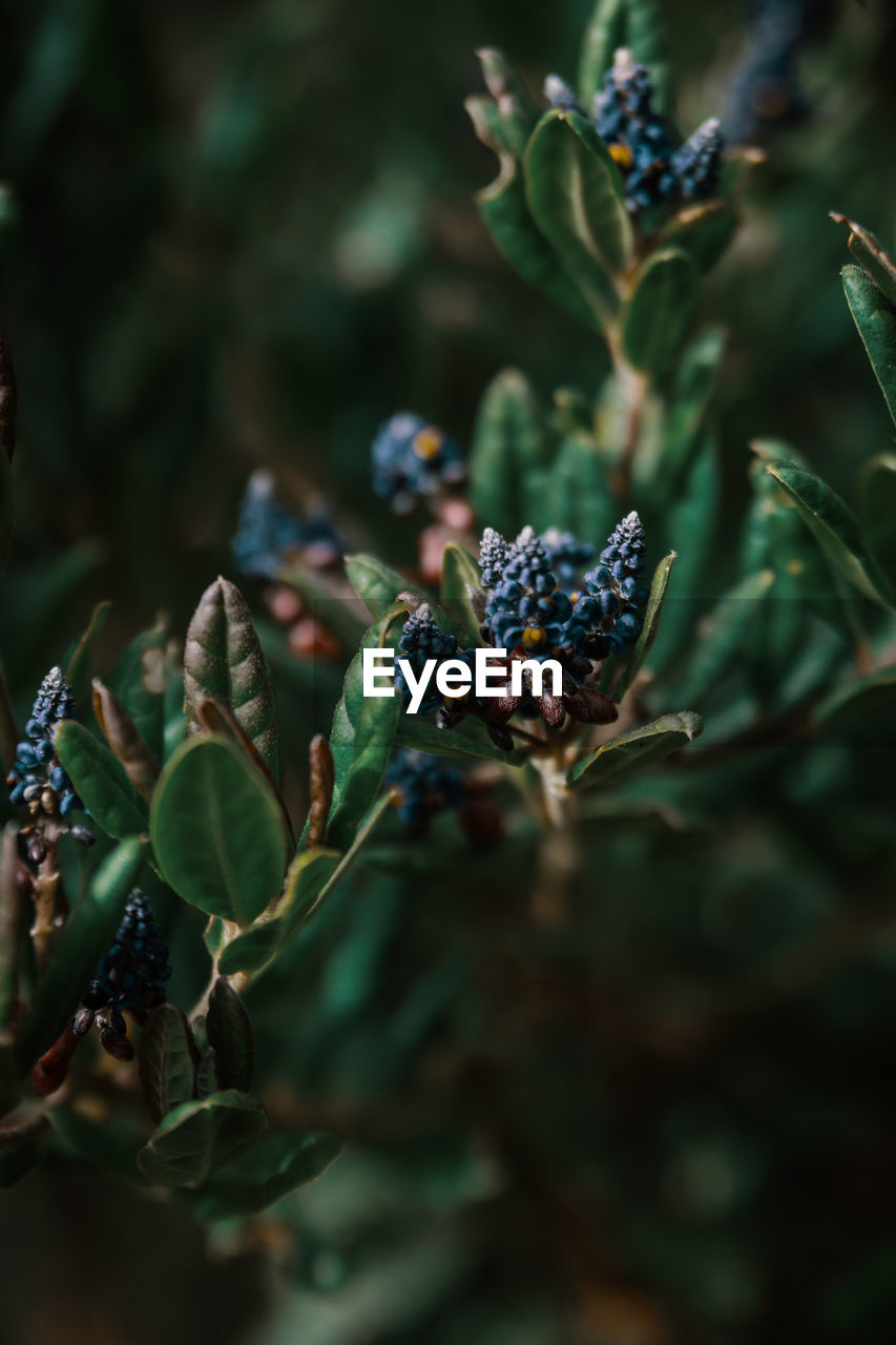leaf, plant part, growth, plant, green color, selective focus, no people, close-up, day, nature, freshness, beauty in nature, berry fruit, healthy eating, food and drink, food, fruit, wellbeing, outdoors, tranquility, ripe