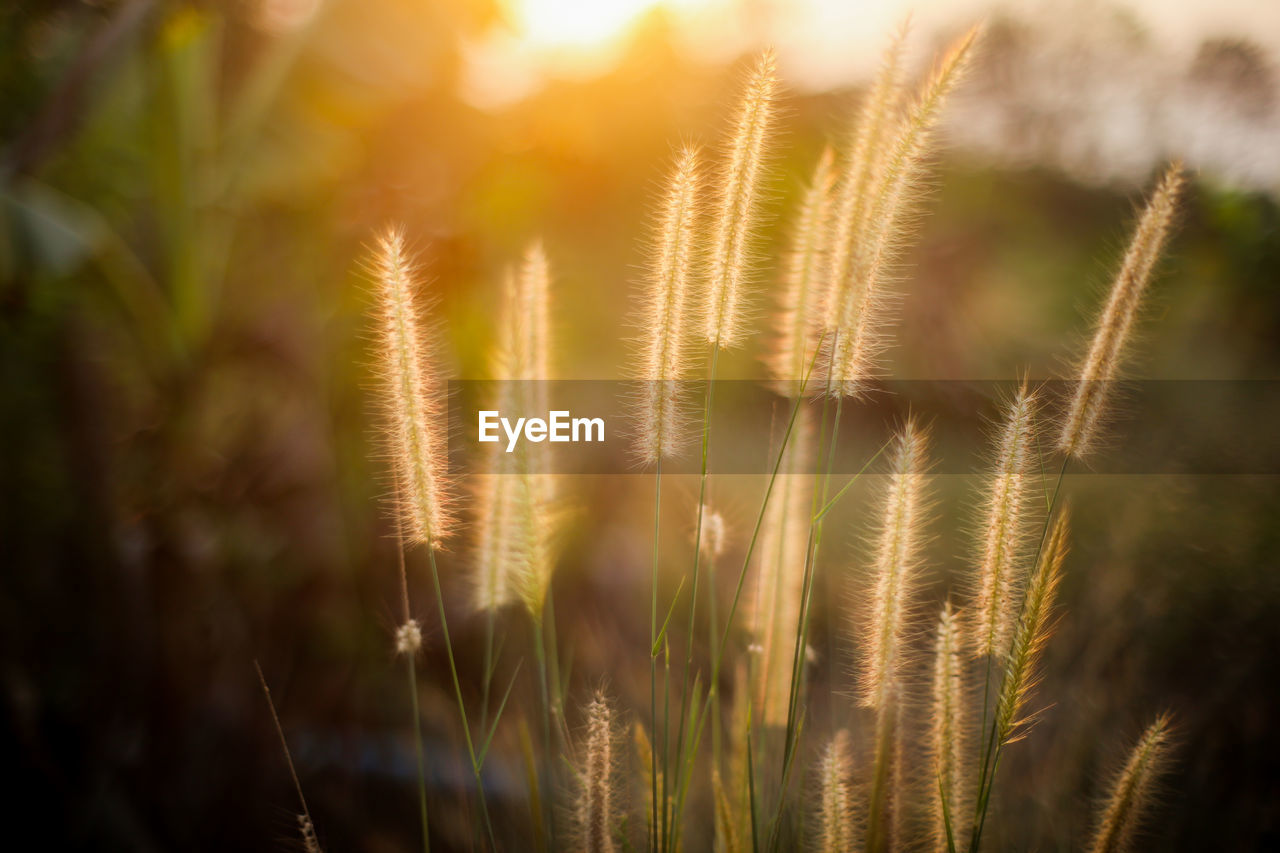 growth, plant, nature, sunlight, beauty in nature, selective focus, tranquility, no people, day, close-up, focus on foreground, lens flare, field, outdoors, sunbeam, sky, land, grass, sunny, sun, bright, stalk, timothy grass