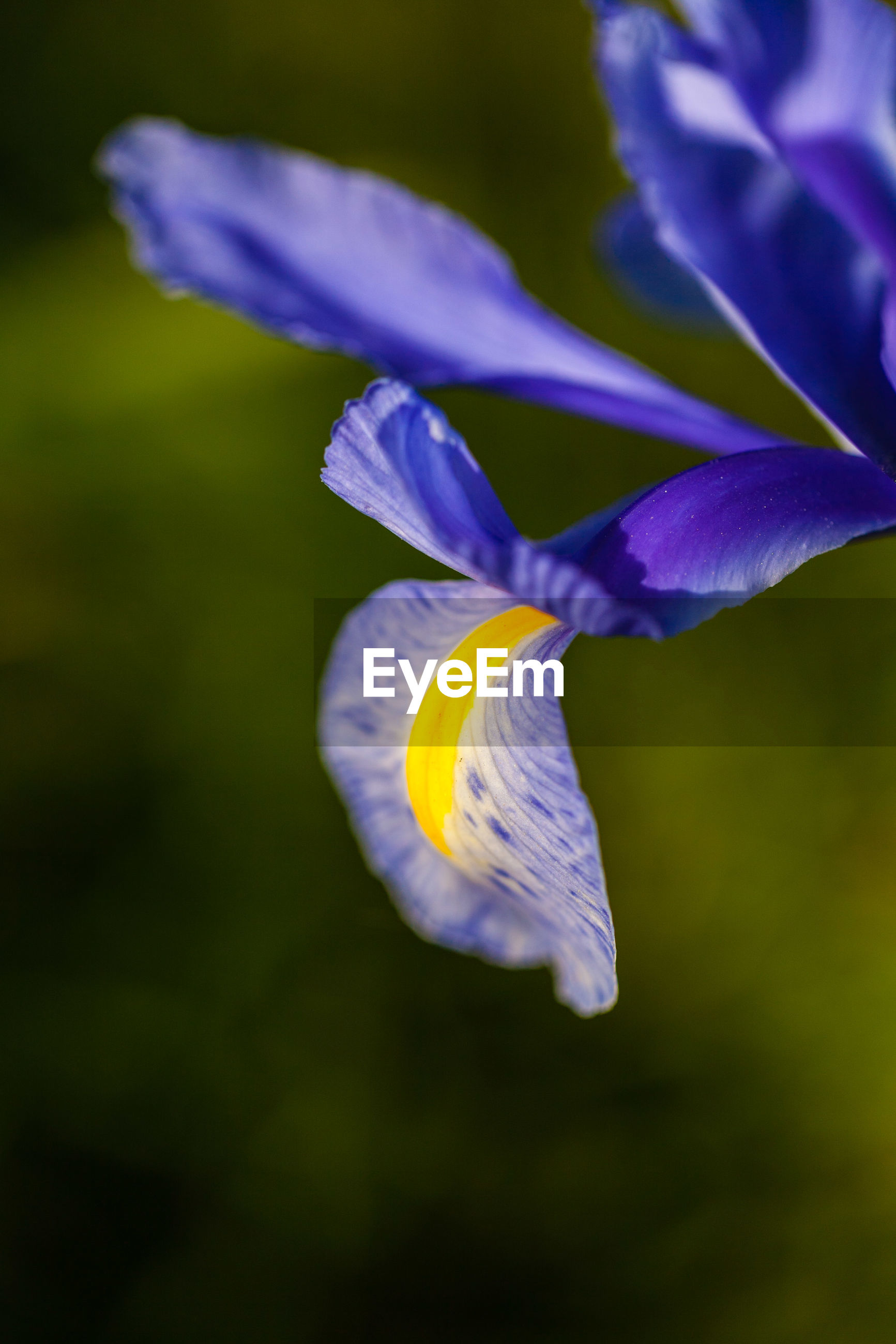 CLOSE-UP OF YELLOW IRIS FLOWER