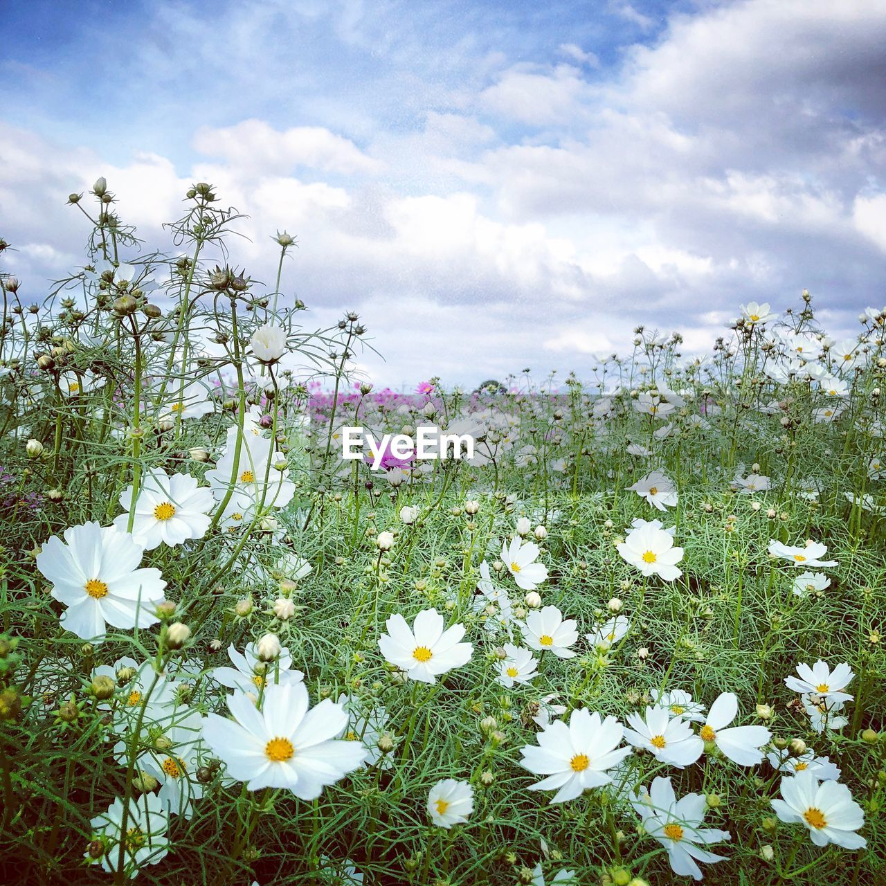 flowering plant, flower, beauty in nature, freshness, plant, fragility, cloud - sky, vulnerability, sky, growth, petal, white color, land, field, nature, close-up, flower head, inflorescence, day, no people, outdoors, pollen, flowerbed