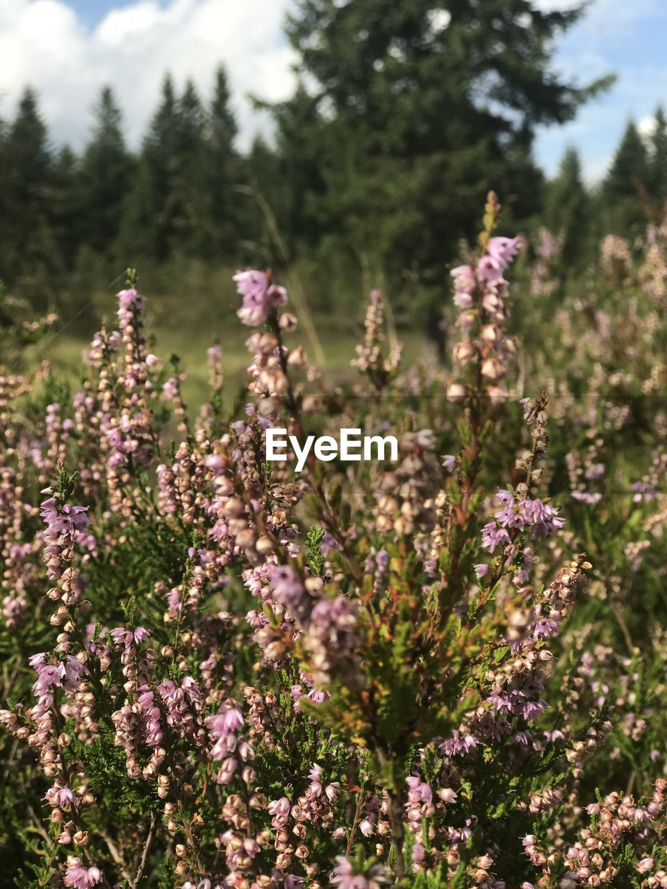 flower, plant, flowering plant, growth, beauty in nature, freshness, vulnerability, fragility, nature, close-up, no people, land, day, field, purple, lavender, focus on foreground, tranquility, selective focus, sunlight, outdoors, flower head