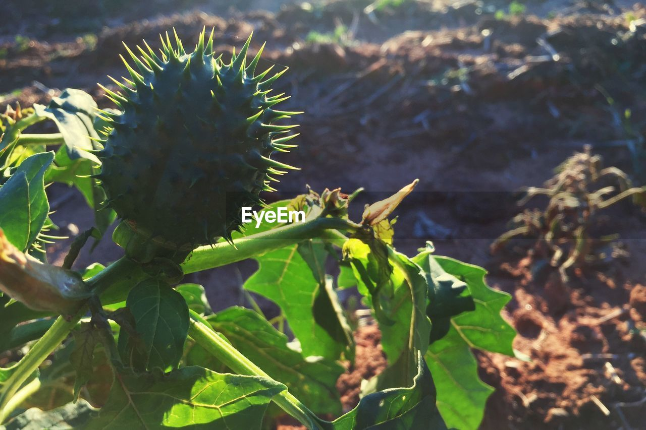 growth, plant, thorn, nature, cactus, spiked, leaf, outdoors, no people, green color, day, sunlight, close-up, beauty in nature, food, freshness