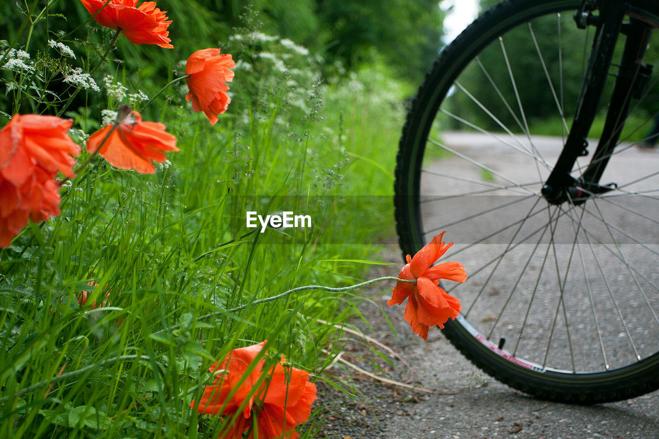 CLOSE-UP OF RED FLOWERING PLANT ON BICYCLE