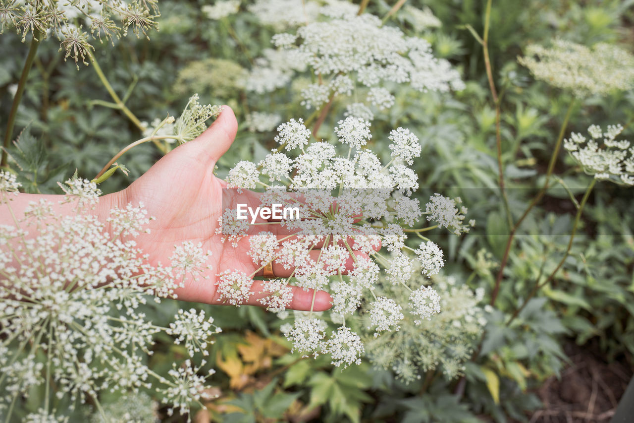 Close-up of hand holding white flowering plant