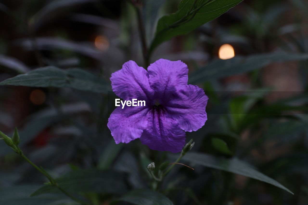plant, flowering plant, flower, beauty in nature, petal, fragility, vulnerability, freshness, close-up, growth, inflorescence, flower head, plant part, leaf, nature, focus on foreground, no people, purple, outdoors, day