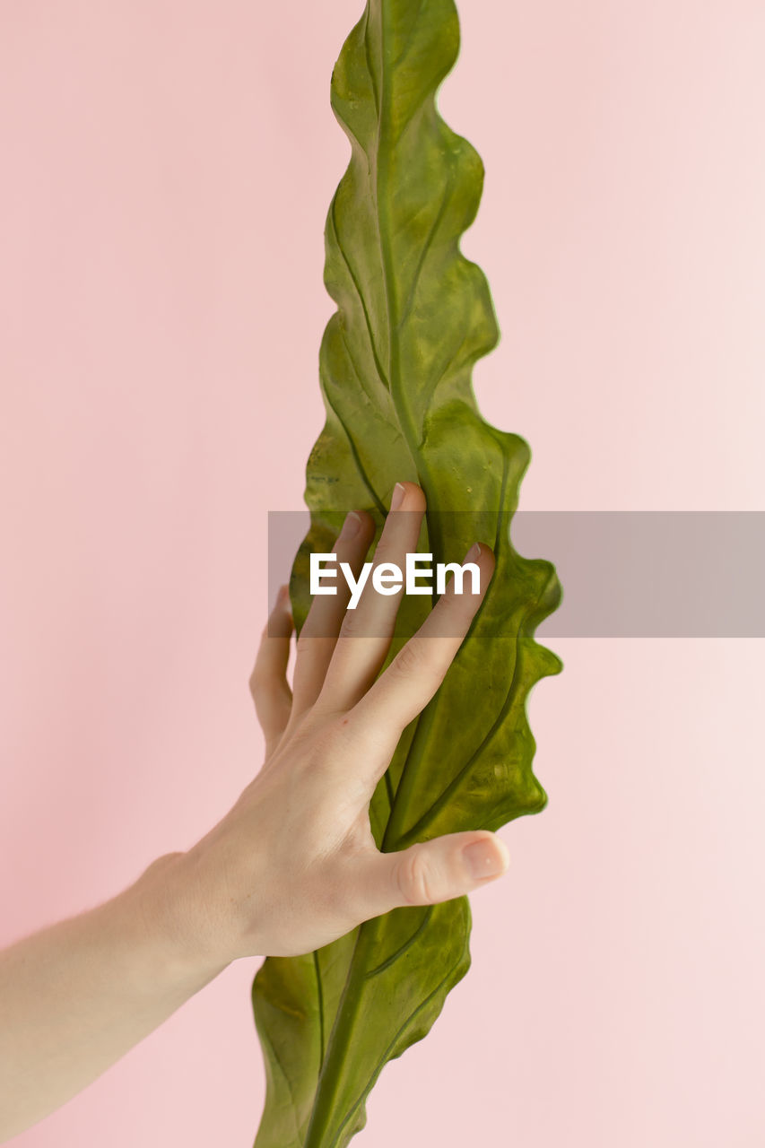 Close-up of hand holding leaf against pink background