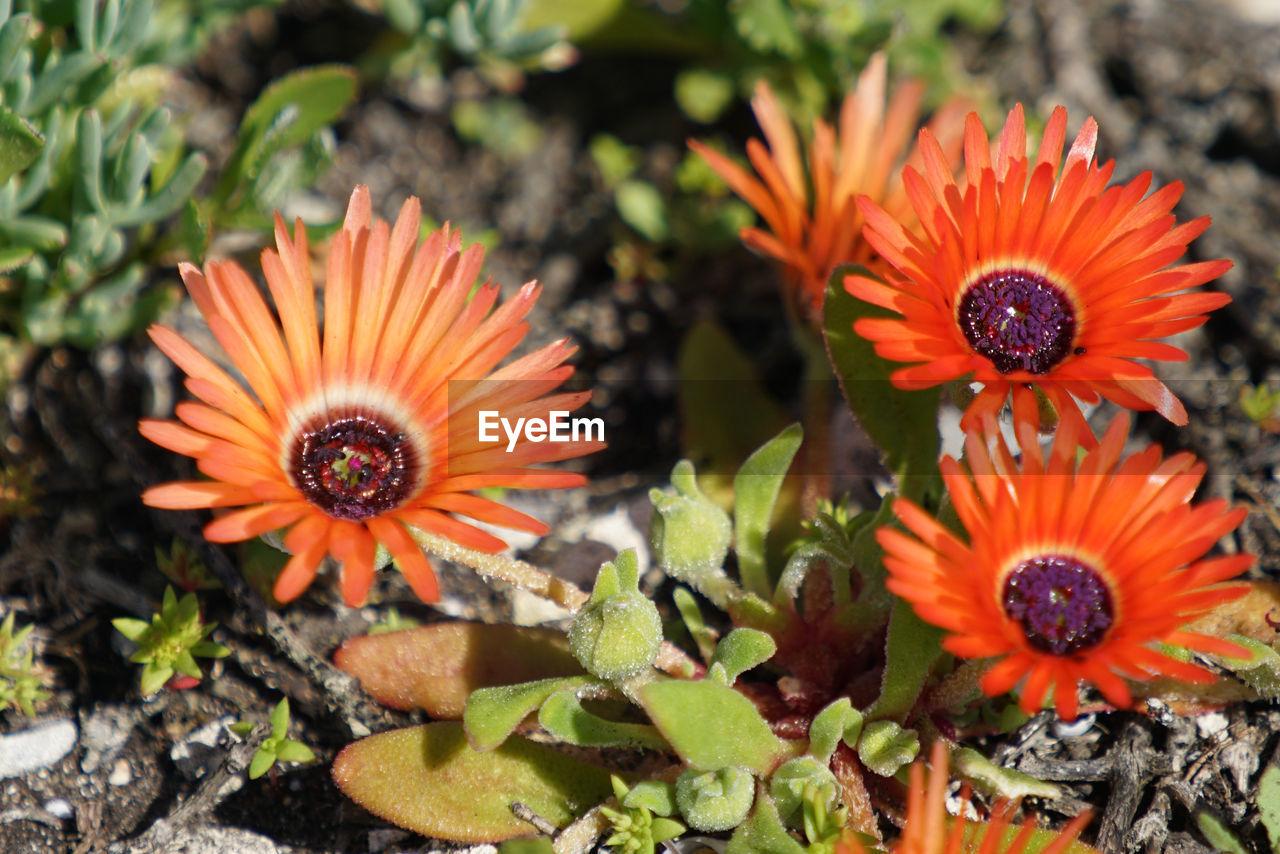 High angle view of orange flower