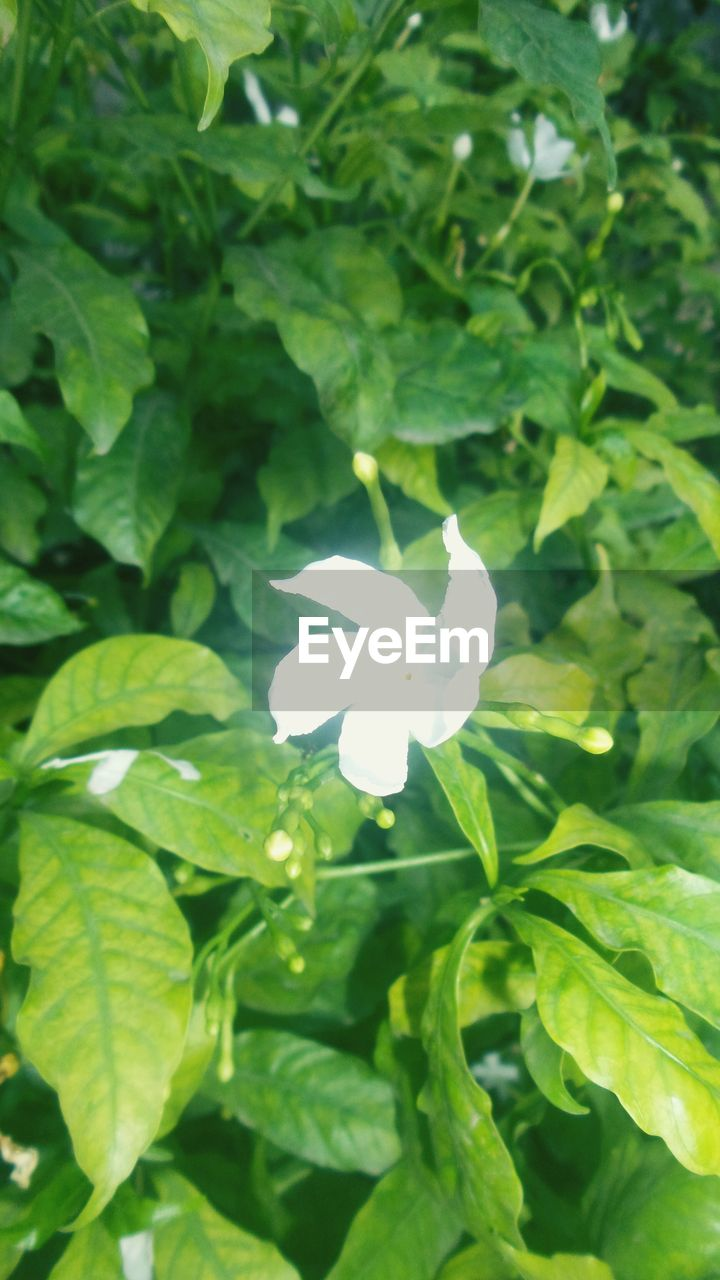 growth, leaf, green color, nature, freshness, fragility, beauty in nature, flower, white color, plant, petal, day, outdoors, flower head, no people, blooming, close-up