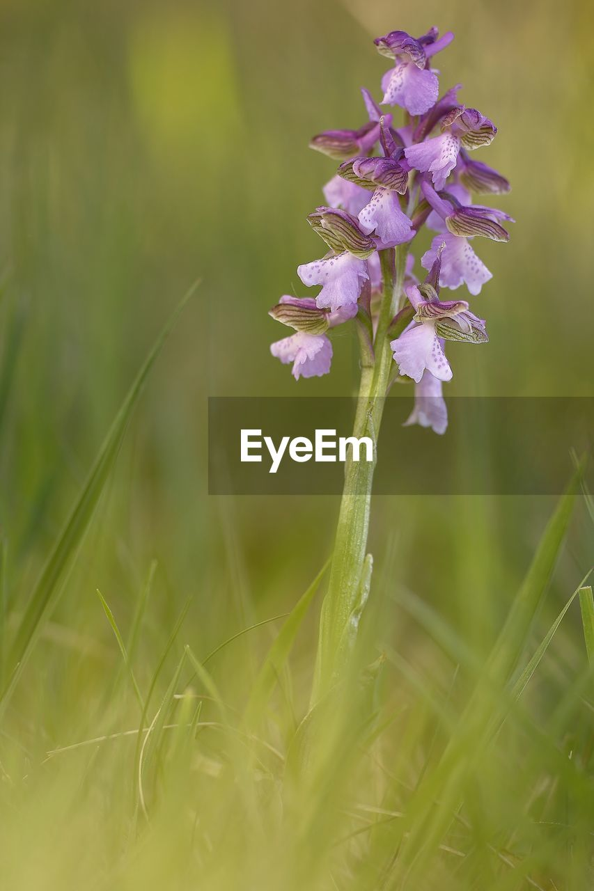 plant, flower, flowering plant, growth, freshness, vulnerability, fragility, beauty in nature, selective focus, nature, close-up, grass, field, land, petal, day, purple, green color, no people, inflorescence, flower head, outdoors, springtime