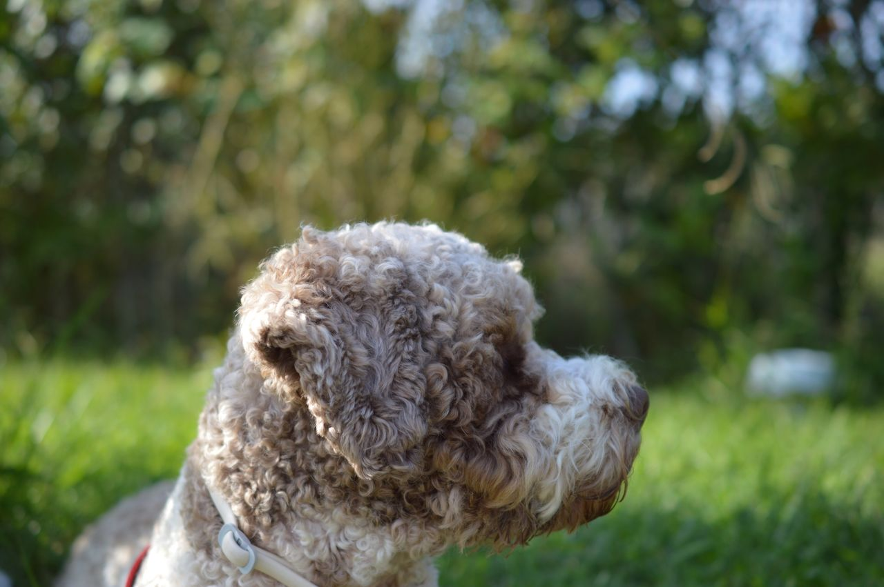 dog, one animal, domestic animals, animal themes, pets, focus on foreground, mammal, day, outdoors, poodle, close-up, no people, grass, tree, nature