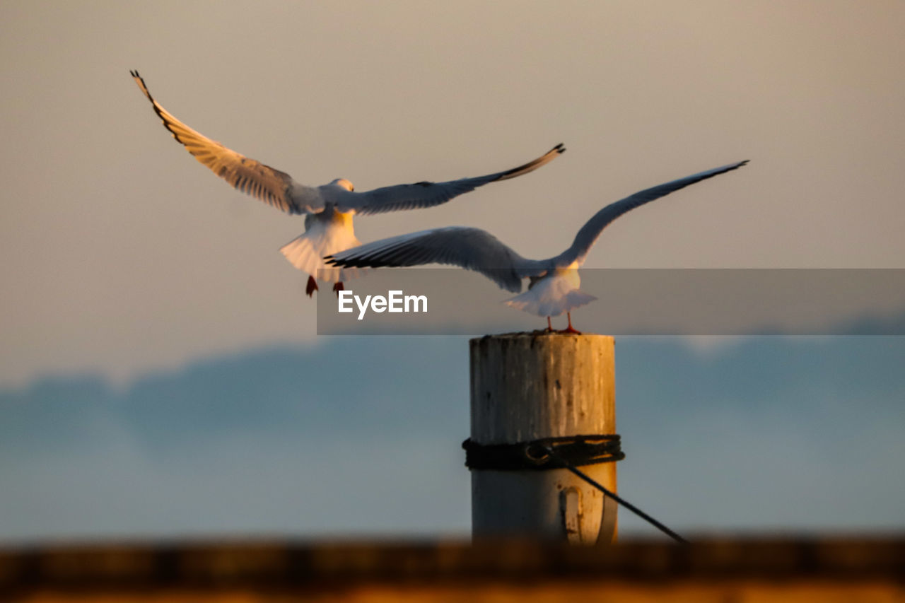 vertebrate, animal, bird, animal themes, animal wildlife, animals in the wild, sky, spread wings, flying, sunset, nature, group of animals, no people, two animals, motion, focus on foreground, wood - material, seagull, outdoors, wooden post