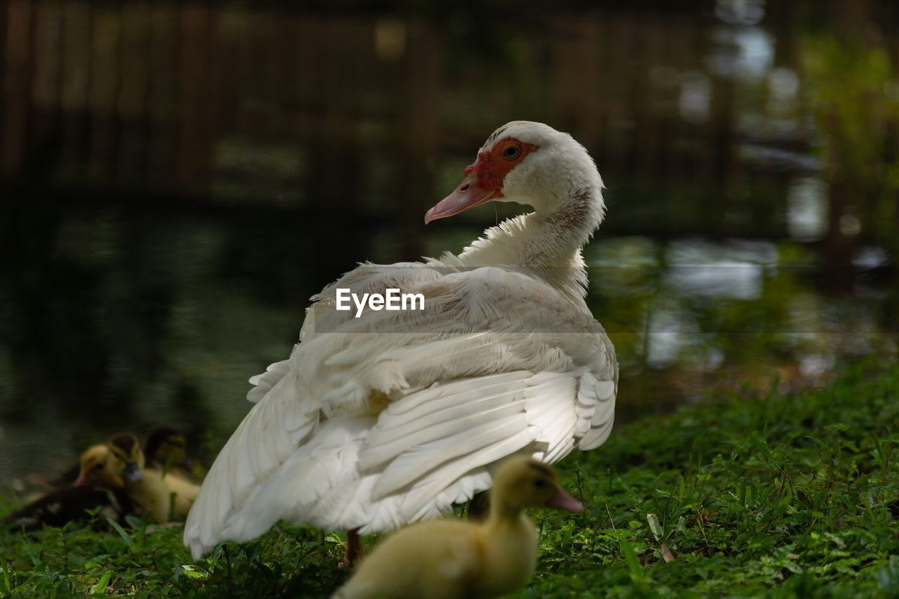 WHITE DUCK WITH A LAKE