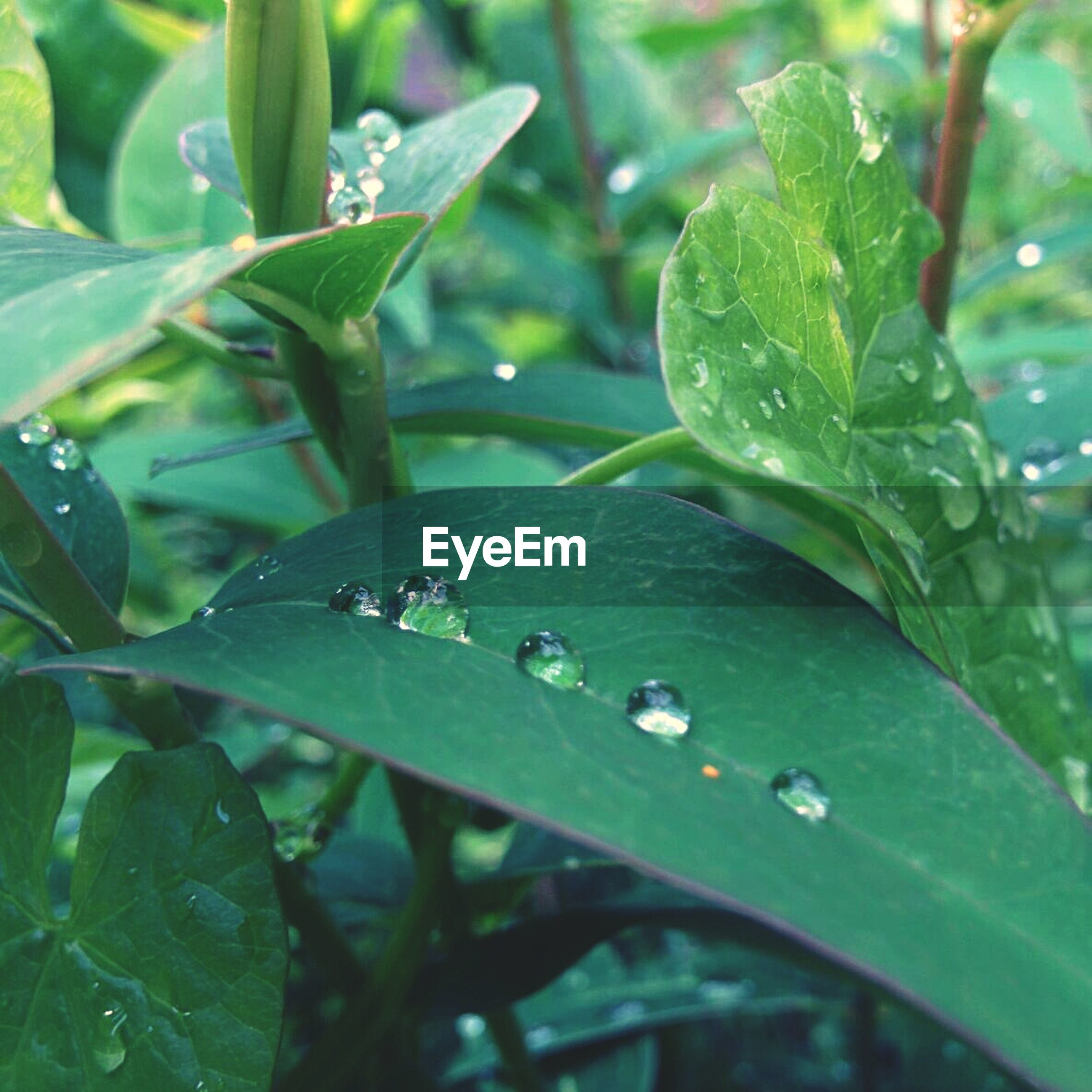 Close-up of dew drops on green leaves