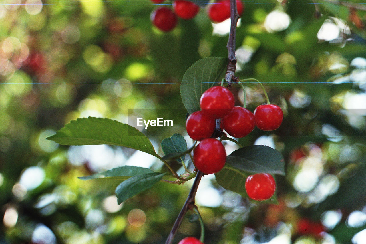 Close-Up Of Red Berries On Tree