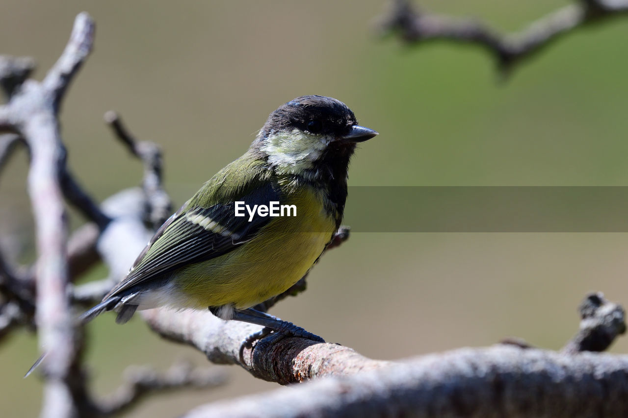 vertebrate, bird, perching, animal, animals in the wild, animal themes, one animal, animal wildlife, branch, day, no people, close-up, focus on foreground, great tit, selective focus, outdoors, tree, full length, nature, twig