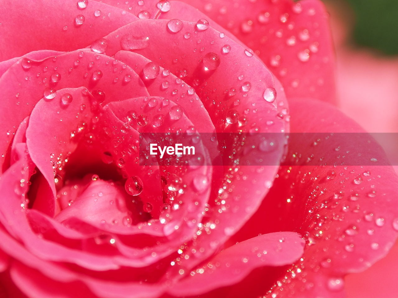 CLOSE-UP OF WET PINK ROSE IN RAIN