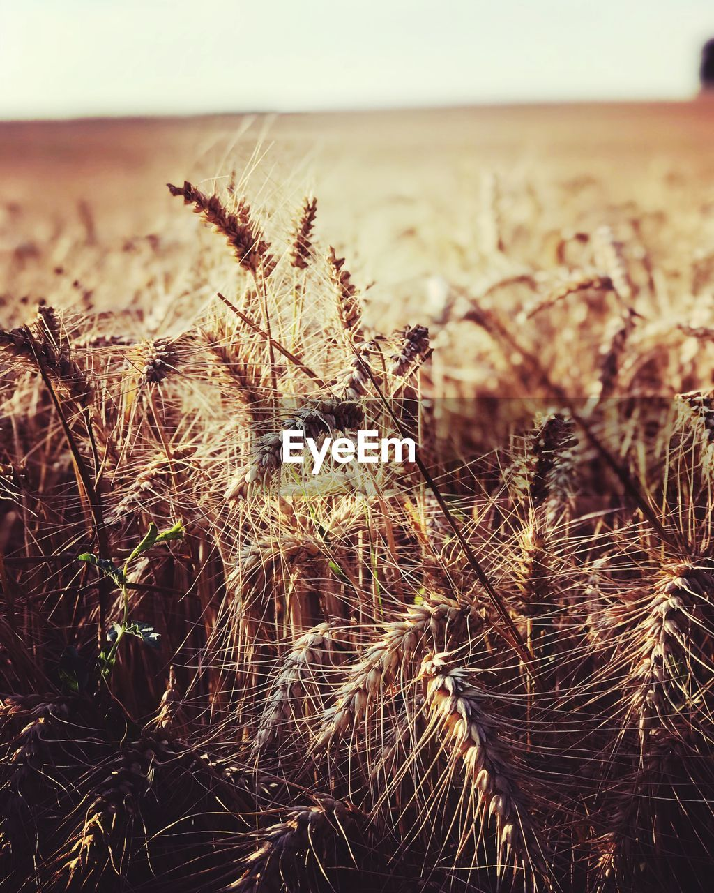 plant, nature, growth, focus on foreground, tranquility, close-up, no people, beauty in nature, land, day, field, sky, outdoors, selective focus, dry, landscape, grass, crop, environment, scenics - nature, timothy grass