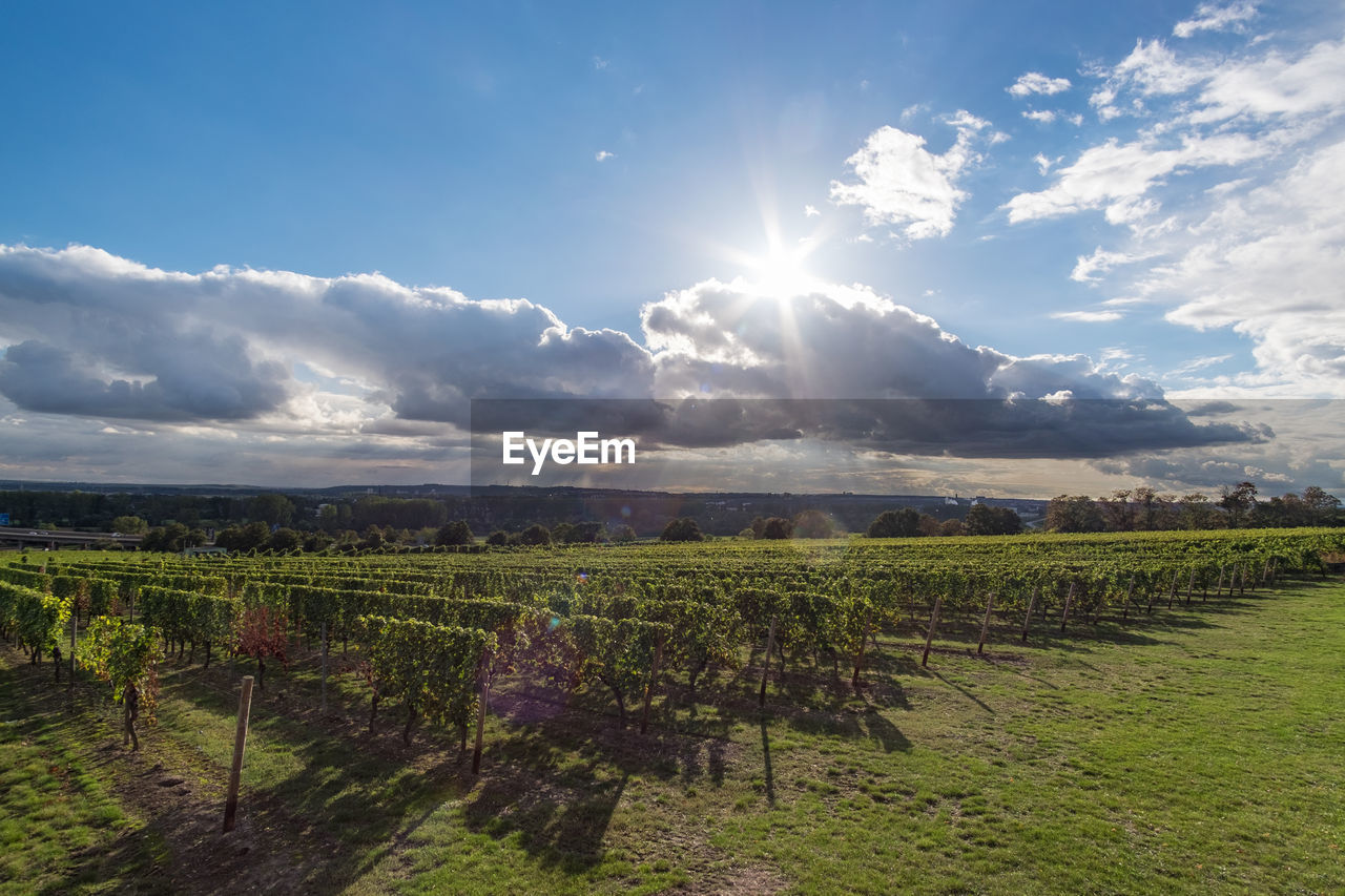 sky, cloud - sky, landscape, field, scenics - nature, vineyard, land, rural scene, environment, tranquil scene, beauty in nature, agriculture, plant, sun, nature, sunlight, tranquility, farm, growth, winemaking, no people, lens flare, outdoors, bright, plantation