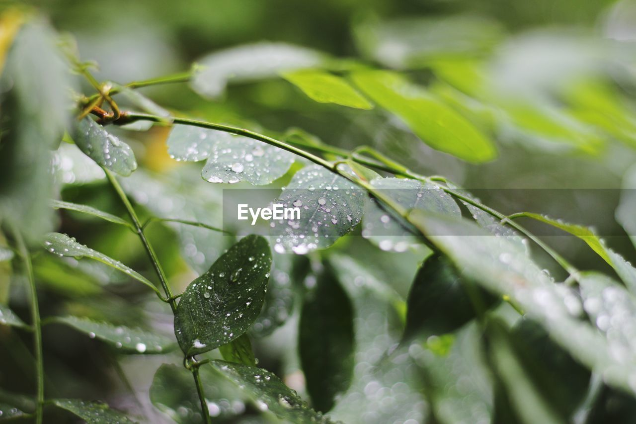 drop, water, plant part, leaf, growth, wet, plant, beauty in nature, close-up, selective focus, nature, green color, day, no people, freshness, outdoors, dew, leaves, rain, raindrop, purity, rainy season, blade of grass