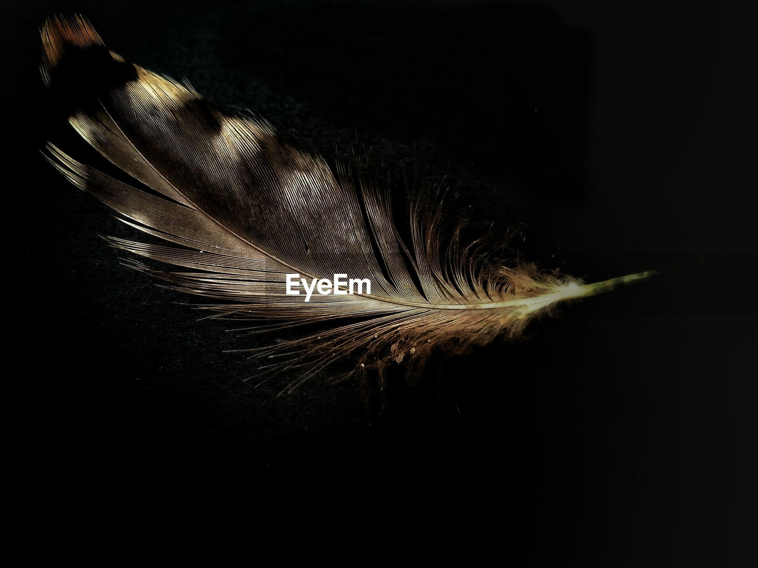 Close-up of feather in mid-air against black background