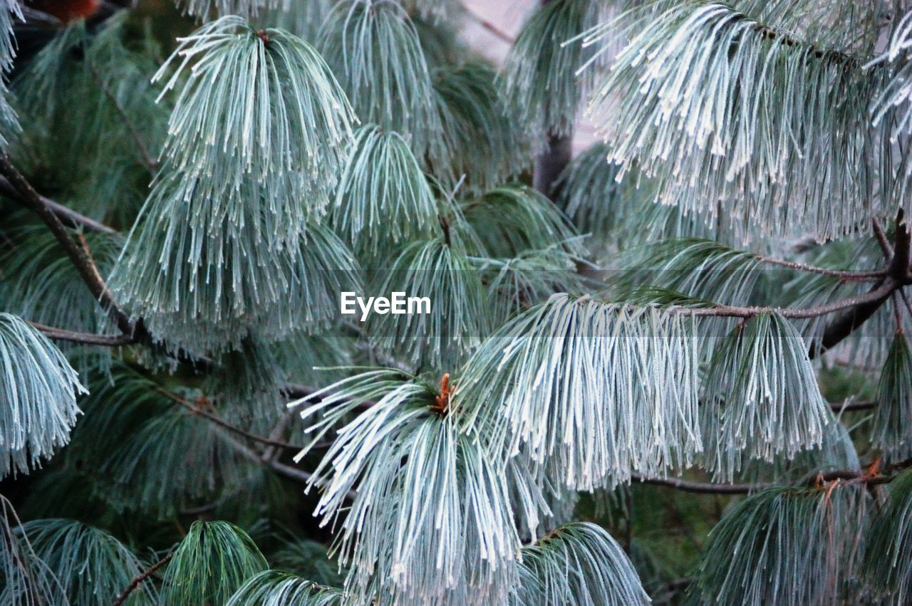 green color, tree, pine tree, leaf, no people, palm tree, nature, day, outdoors, growth, beauty in nature, freshness, close-up