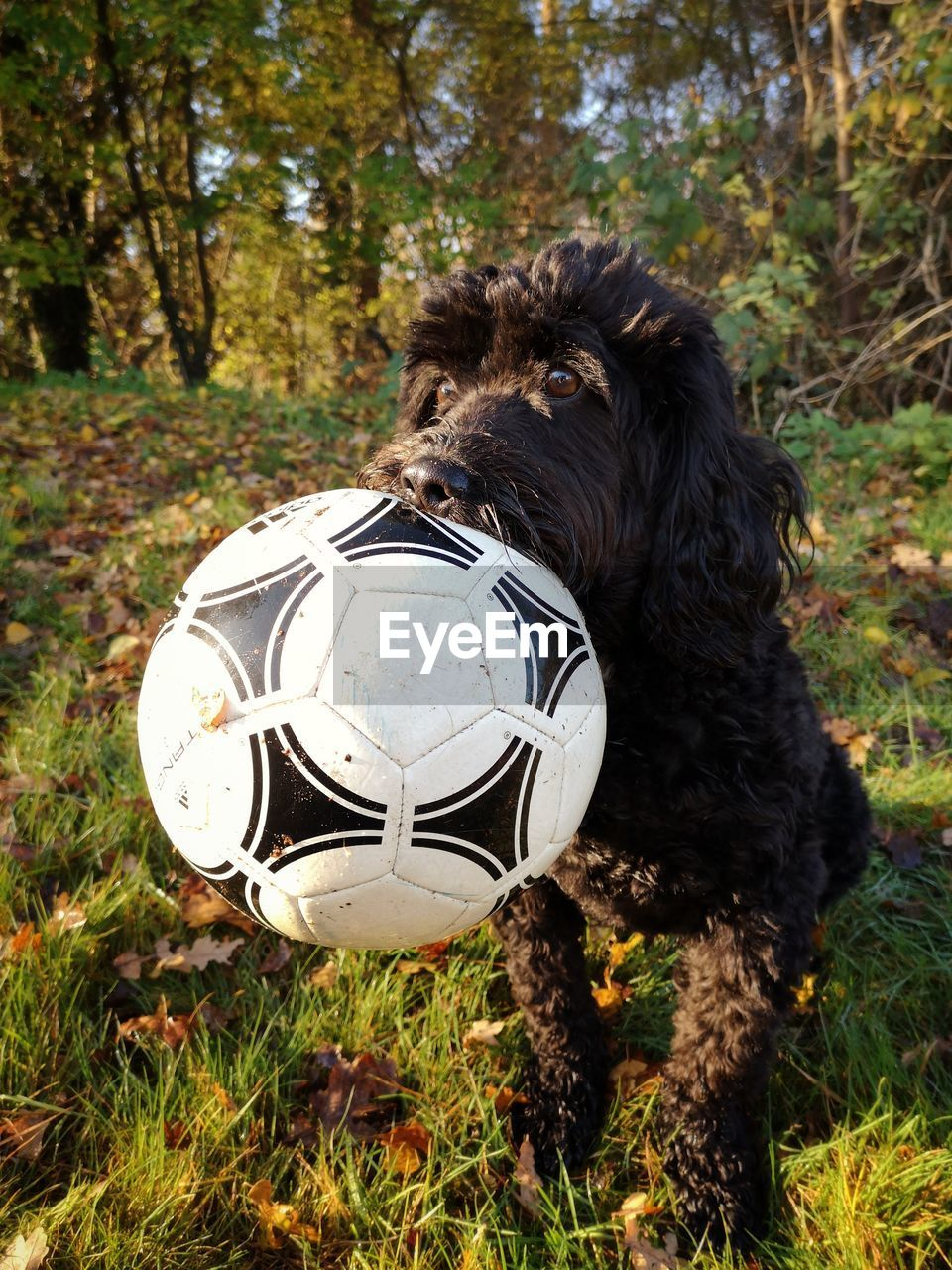 ball, sport, soccer, dog, one animal, canine, soccer ball, land, grass, animal, mammal, pets, domestic animals, domestic, team sport, animal themes, sports equipment, plant, nature, field, no people, outdoors