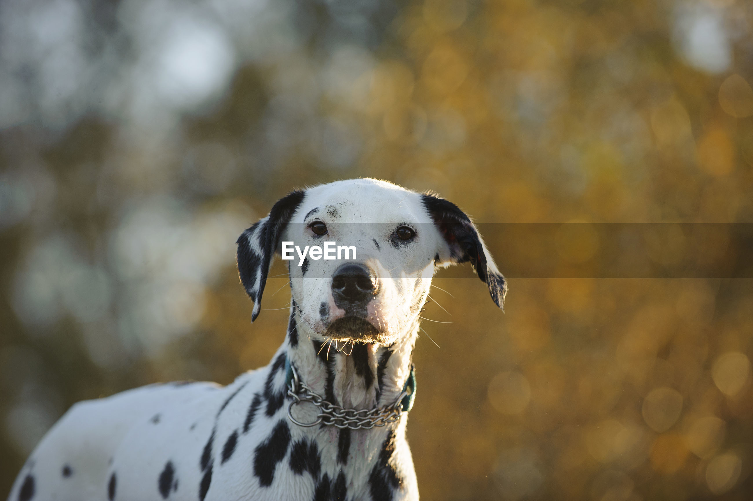 Portrait of dalmatian dog standing against trees