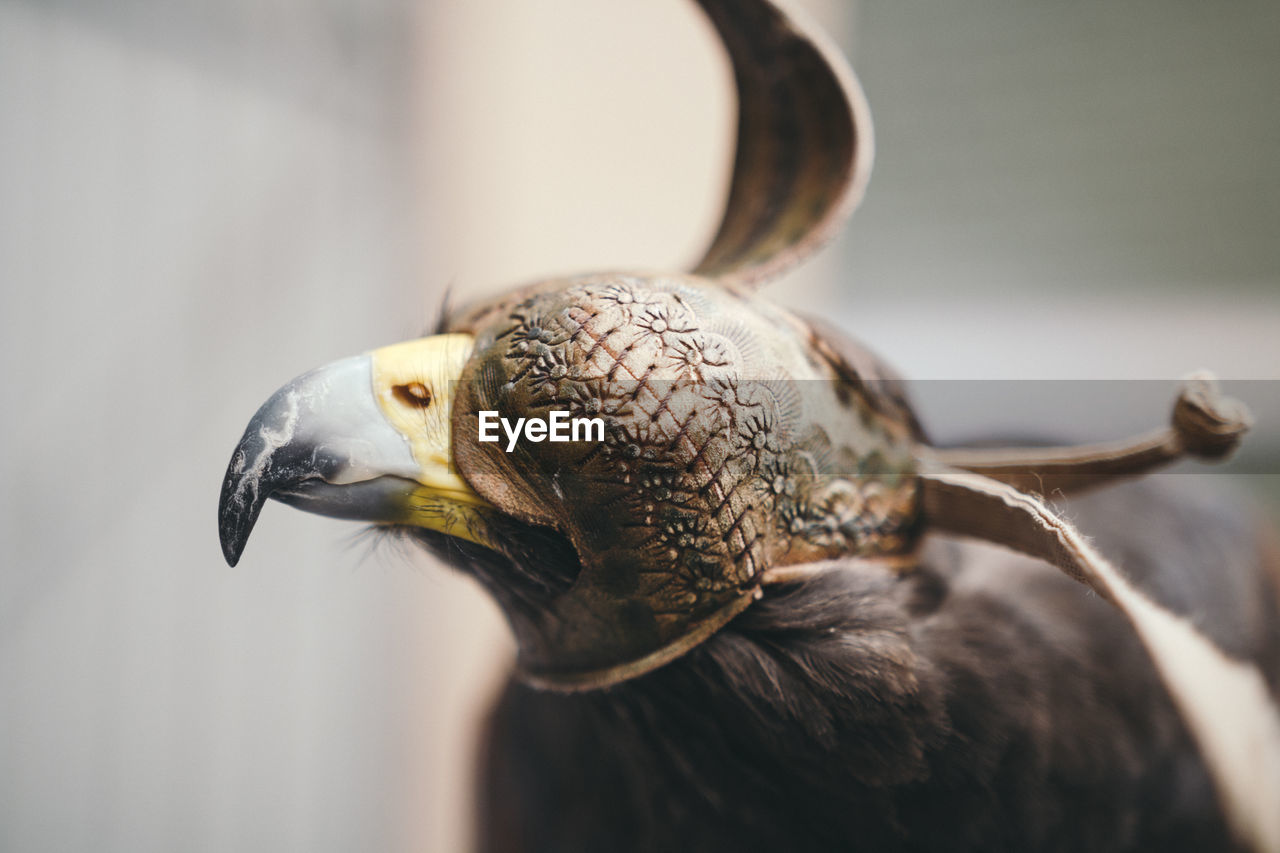 Close-up of hooded eagle