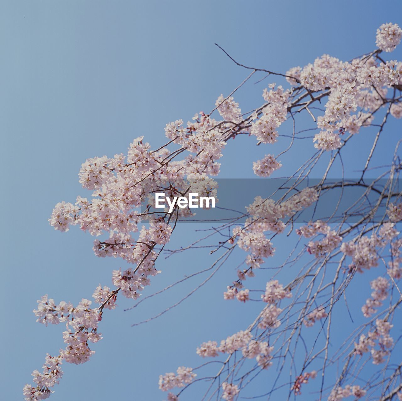 Low Angle View Of Cherry Blossom Blooming On Tree Against Clear Sky